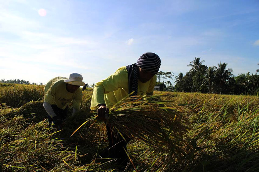 A year after implementation, farmers call for repeal of Rice Liberalization Law