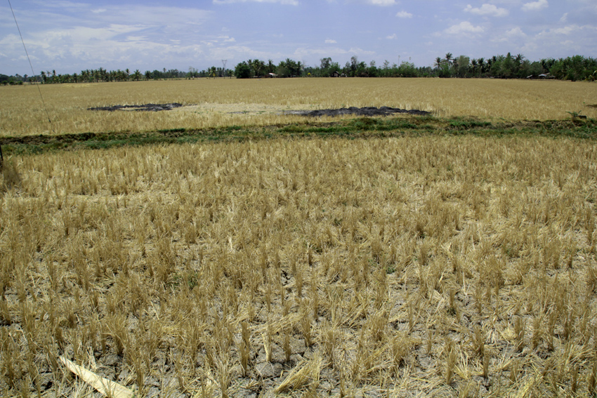 This vast rice field in Barangay New Rizal, M'lang, North Cotabato shows cracked land due to severe drought. (Ace R. Morandante/davaotoday.com)