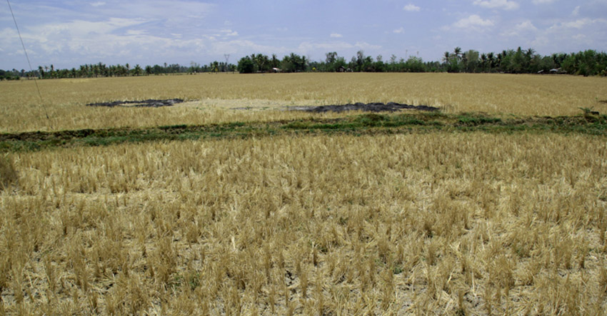 This vast rice field in Barangay New Rizal, M'lang, North Cotabato shows cracked land due to severe drought. (Ace R. Morandante/davaotoday.com file photo)