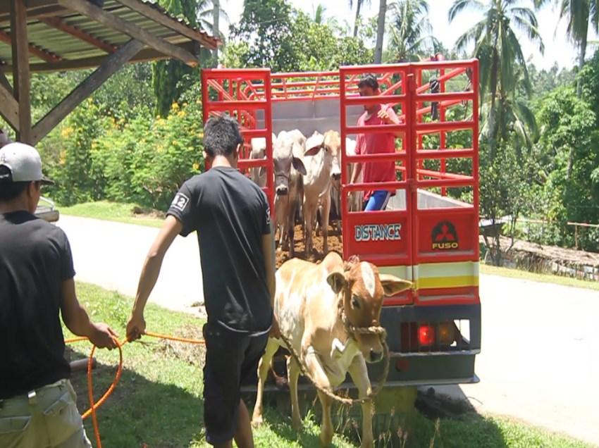 City gov't distributes 85 cattle for Paquibato farmers