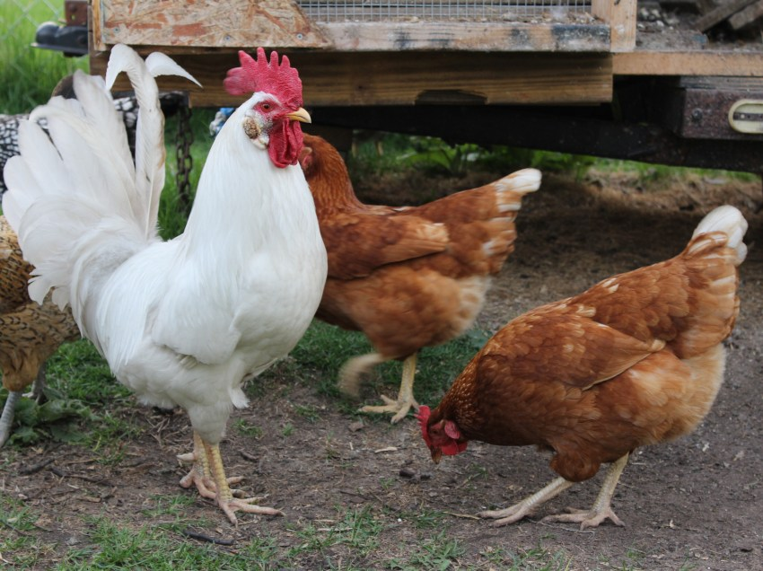 Davao chickens to be tested against flu