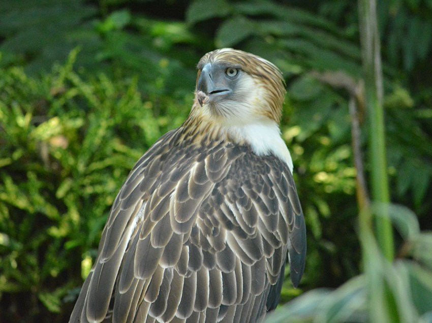 New home for Philippine Eagle eyed in ComVal