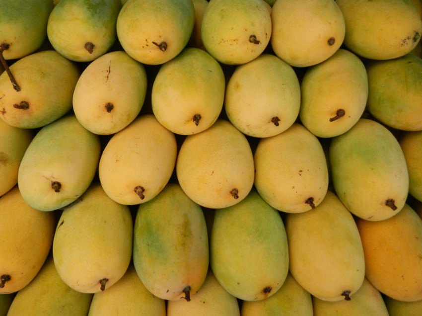 Mango production in Davao gradually losing flavor