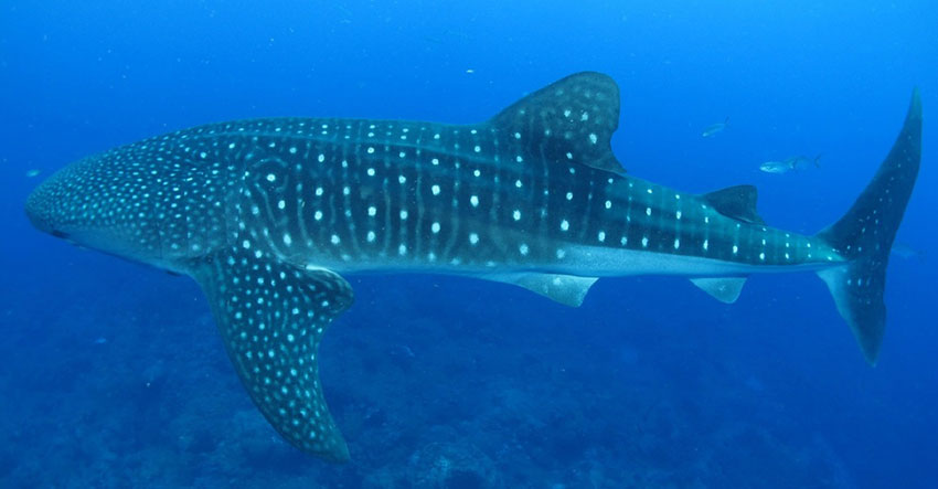 BFAR-10 on whale shark sighting: Look, but don't touch