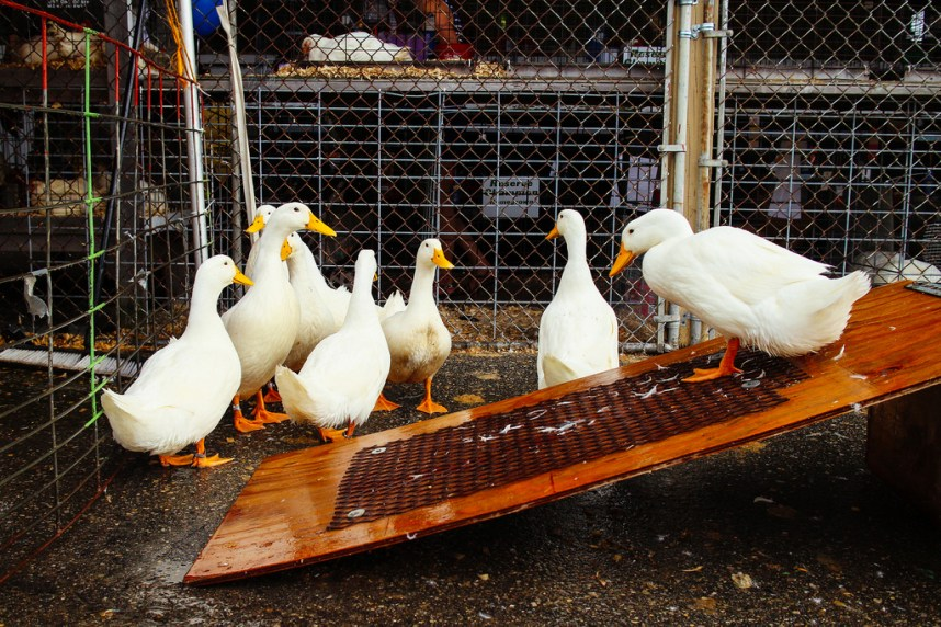 Jackson Fair Week - Ducks