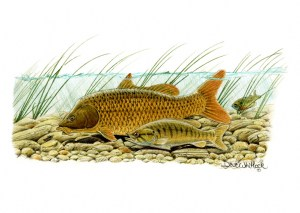 Carp and Smallmouth Bass