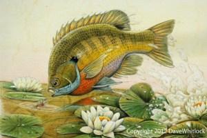 Sunfish and Bass