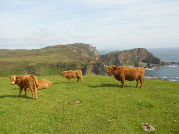 Mull of Oa Cows