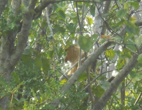 Success! At the third stopping point, we finally had a good look at the Proboscis Monkeys.
