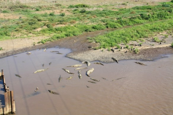 Huge crocs waiting for a tourist to slip and fall in.