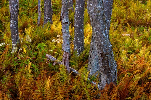Colorful cinnamon ferns display their autumn colors.