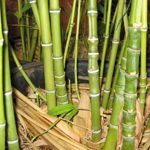 Medium Of Bamboo Turning Yellow