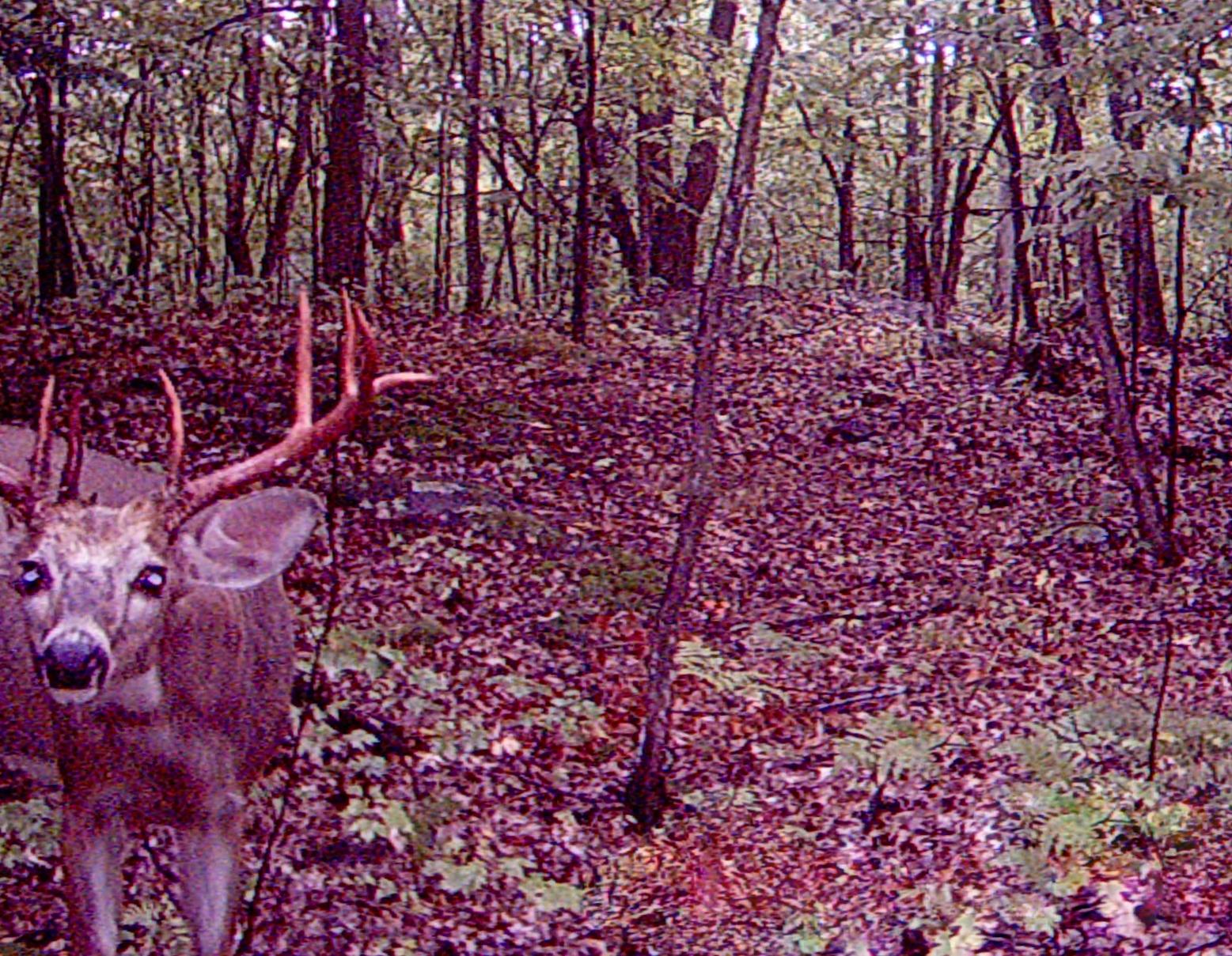 Nosey Buck