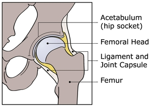 Hip Anatomy IHDI