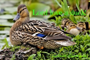 Lord love a duck mallard