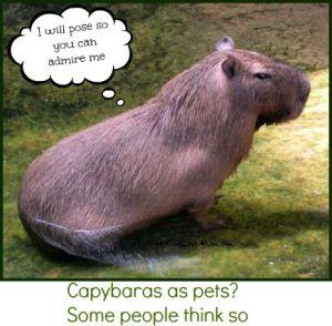Capybaras as pets? Some people think so. DearKidLoveMom.com