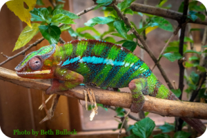Rainbow chameleon Newport Aquarium DearKidLoveMom.com