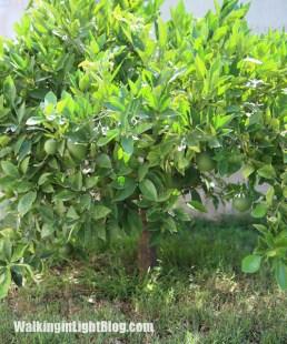 orange tree, california, fruit, oranges