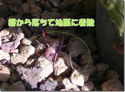 コオロギの脱皮4★