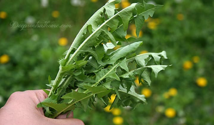 Dandelion GreensRecipe ~ Powerful Spring Tonic, spring dandelions, health benefits, blood builder and liver cleanser, tonic for spring, herb,