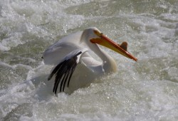 Pelican eye catch