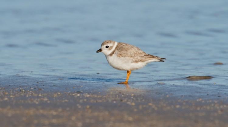 Volunteer as a Beachnesting Bird Monitor