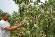 En El Seibo también se exporta mango