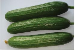 Gracious View Image Amiga Cucumber Seed Selected Seeds Zucchini Vs Cucumber Plant Zucchini Vs Cucumber Noodles