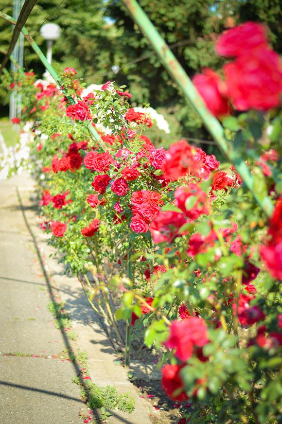 Red Roses of Kazanlak - Museum of Roses