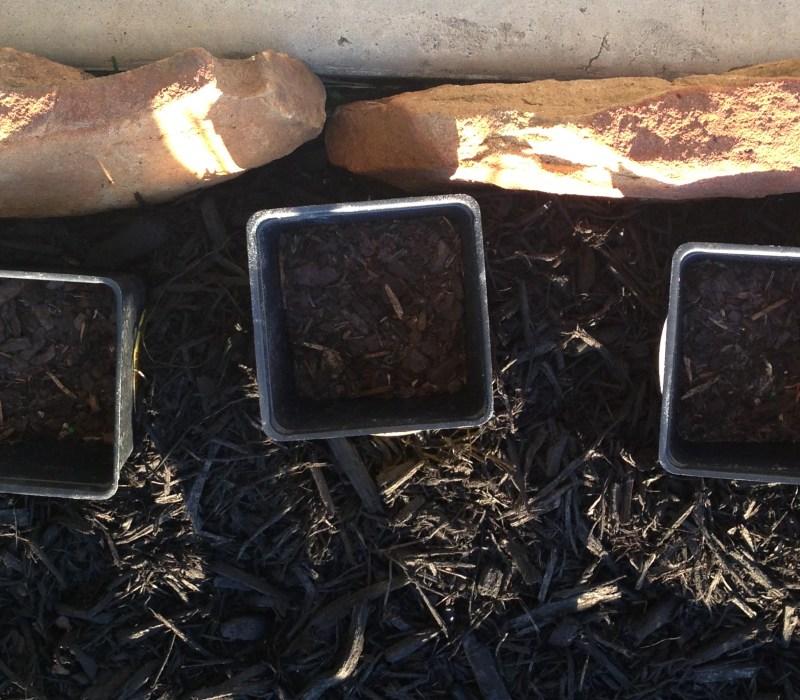 seeds in pots