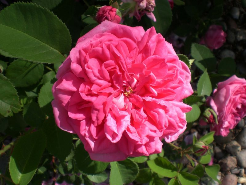 Large Of High Country Roses