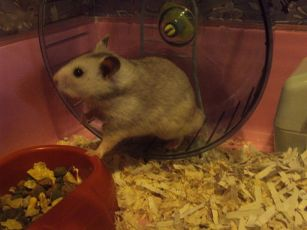 512px-Syrian_Hamster_2
