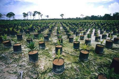 Biodiesel de óleo de palma ameaça floresta tropical e polui mais que diesel