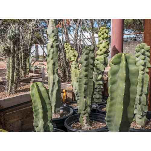 Medium Crop Of Saguaro Cactus For Sale