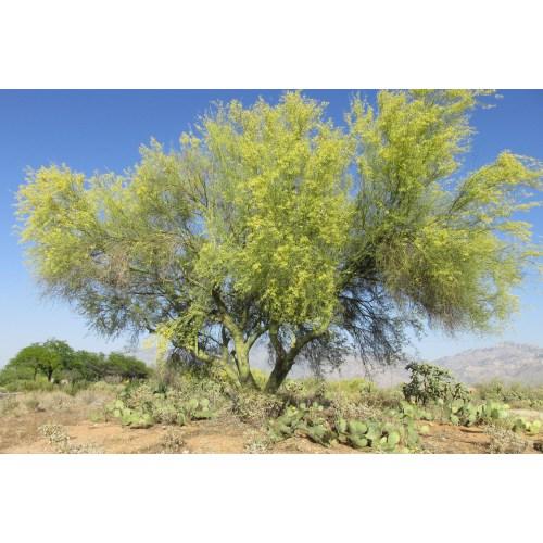 Medium Crop Of Desert Museum Palo Verde