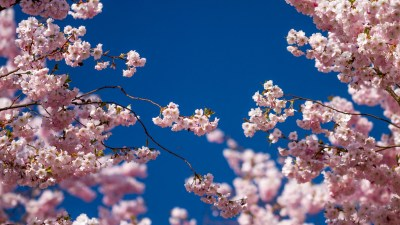 30 HD Cherry Blossom Wallpapers for Desktop - DesignEmerald
