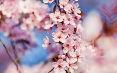30 HD Cherry Blossom Wallpapers for Desktop - DesignEmerald