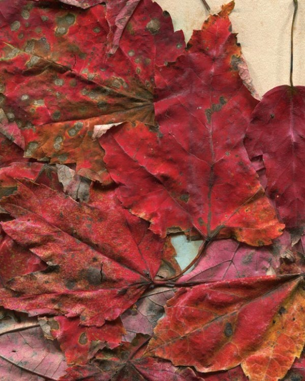 Autumn Leaves Textures