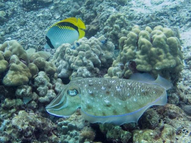 Cuttlefish and butterflyfish