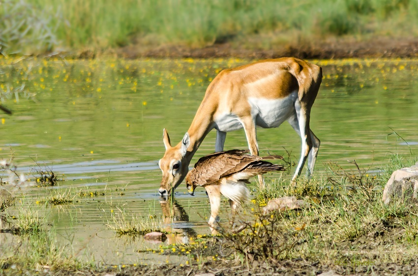 Black buck and eagle at watering hole Tal Chapar