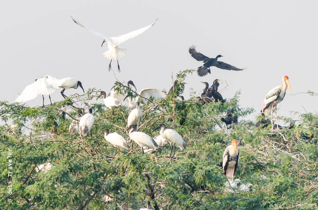 Black headed ibis, painted stork and little cormorant on a tree Sultanpur Bird Sanctuary Gurgaon