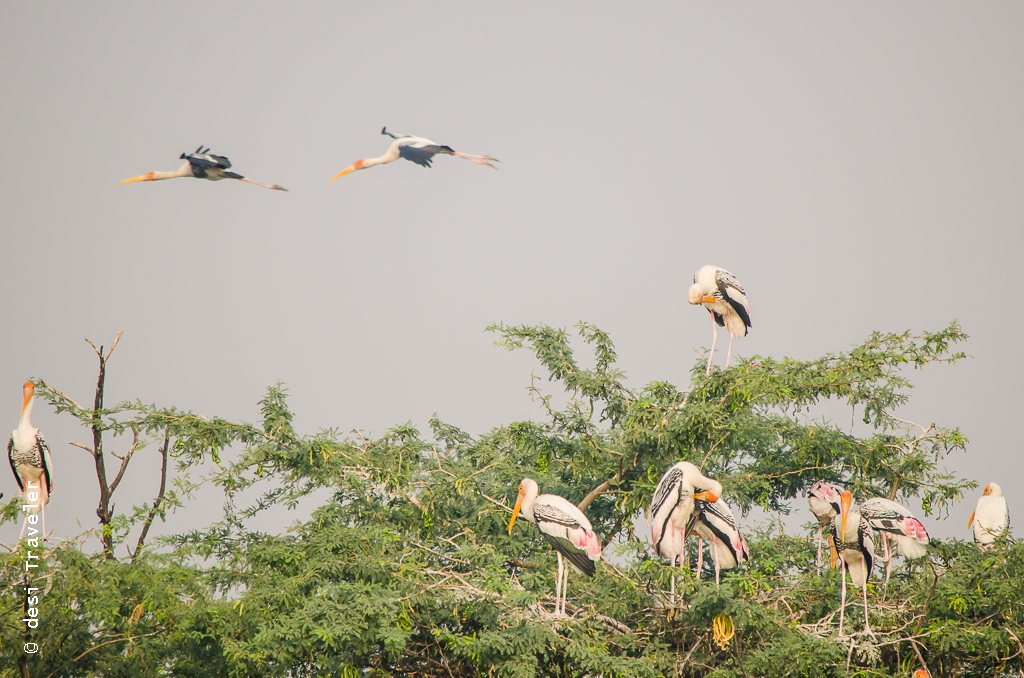 Painted stork Sultanpur Bird Sanctuary Gurgaon