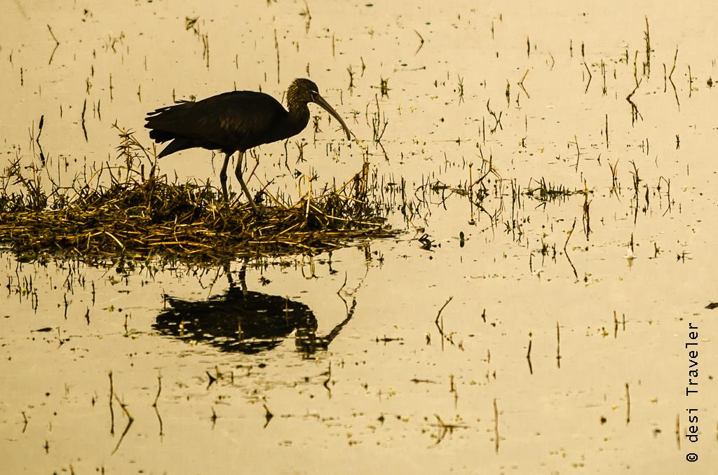 A black ibis at Sultanpur Bird Sanctuary
