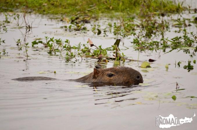 Carpincho en los Esteros del Iberá