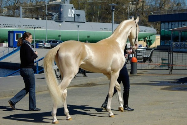 Akhal_Teke_golden_horse-600x401