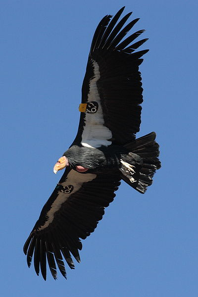 California Condor in flight, with tracking tags.  Photo via Wikipedia and Creative Commons.
