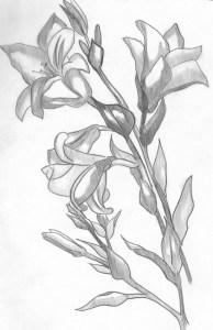 Dibujos a lápiz de flores (11)