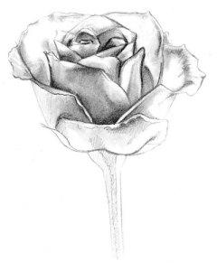 Dibujos a lápiz de flores (7)