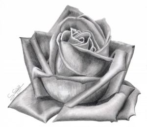 10 dibujos a lápiz de rosas para tatuajes (5)