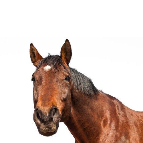 pferd500x500